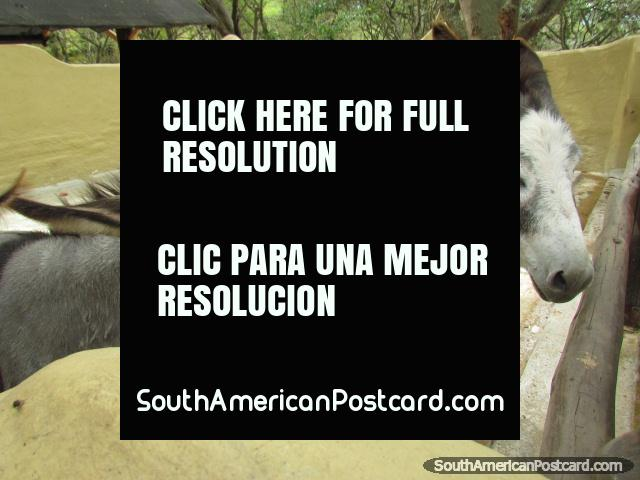 A pair of donkeys in the kids area at Quito Zoo. (640x480px). Ecuador, South America.