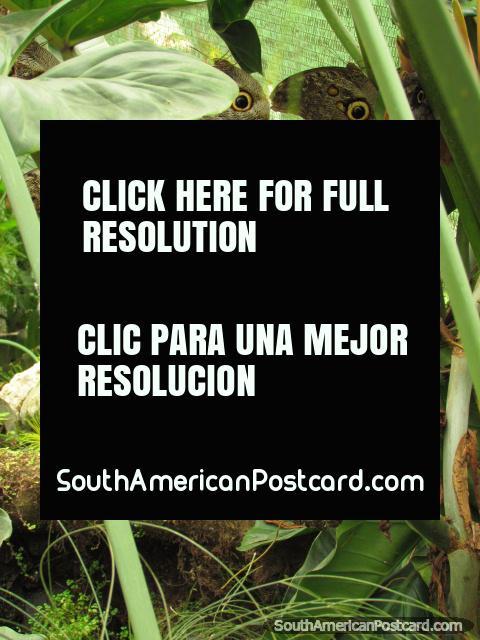 Un grupo de mariposas anda en una planta en Mariposario en Mindo. (480x640px). Ecuador, Sudamerica.