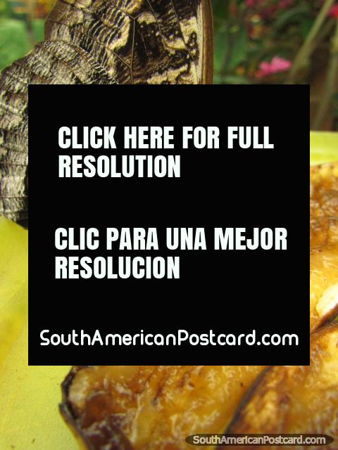 Mosca mariposa grande con el patrón de 'ojo' come el plátano, Mariposario en Mindo. (480x640px). Ecuador, Sudamerica.
