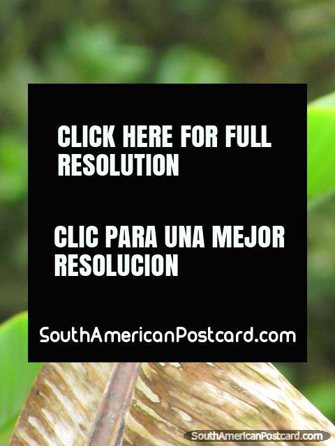 Brown bird in garden in Mindo. (480x640px). Ecuador, South America.