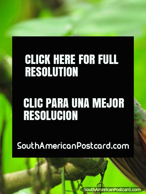 Hummingbird close-up from Mindo, home of birdwatching. (480x640px). Ecuador, South America.