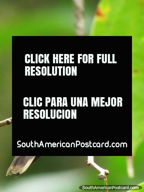Brownish bird in Mindo gardens. (480x640px). Ecuador, South America.