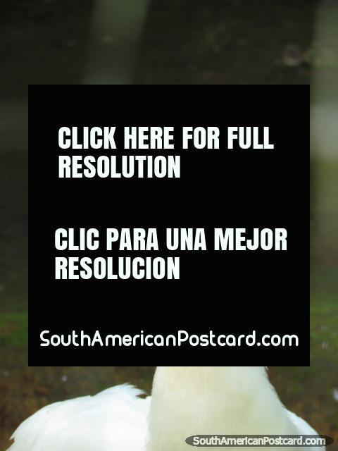 A white peacock at Parque Real in Puyo. (480x640px). Ecuador, South America.