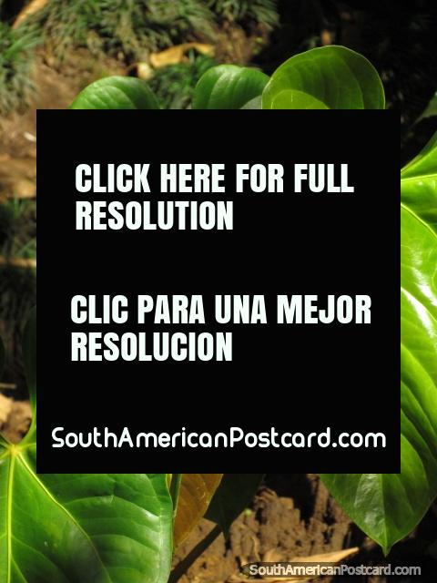 Red Pink Flower And Big Green Leaves Plant At Parque Real