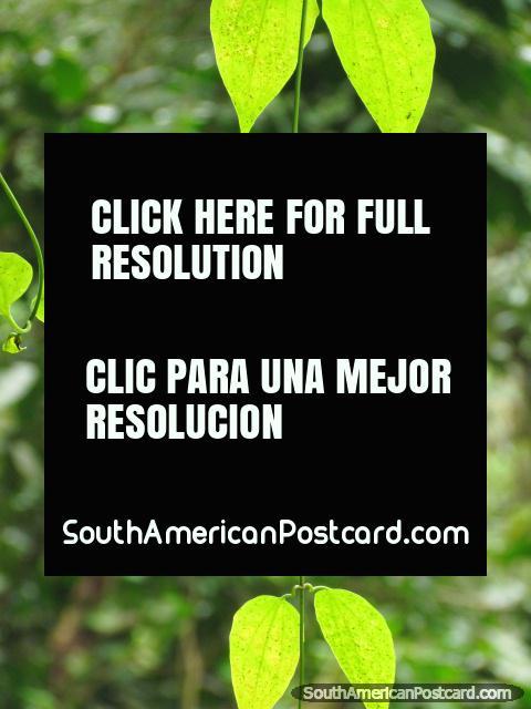 Green leaves in the sunlight, Podocarpus National Park in Zamora. (480x640px). Ecuador, South America.