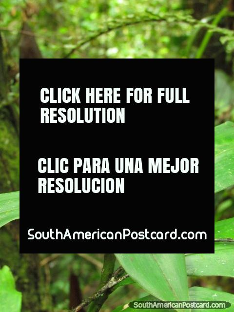 Red fruit-like flower bud and 4 leaves, Podocarpus National Park, Zamora. (480x640px). Ecuador, South America.