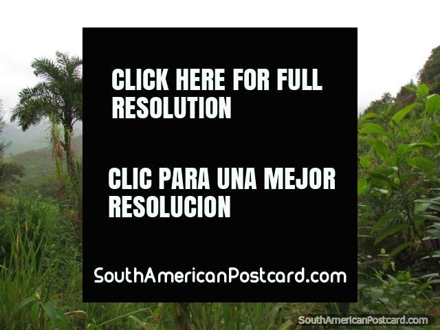 The jungle between Zumba and Pucapamba. (640x480px). Ecuador, South America.