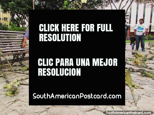 Parque Seminario, park of iguanas in Guayaquil. (640x480px). Ecuador, South America.