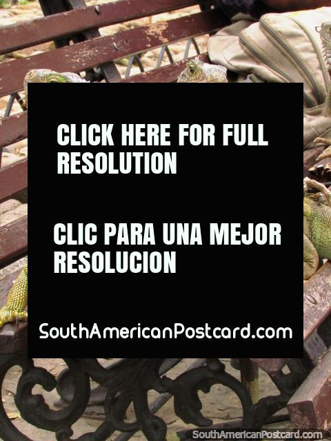 3 iguanas on a park bench at Parque Seminario in Guayaquil. (480x640px). Ecuador, South America.