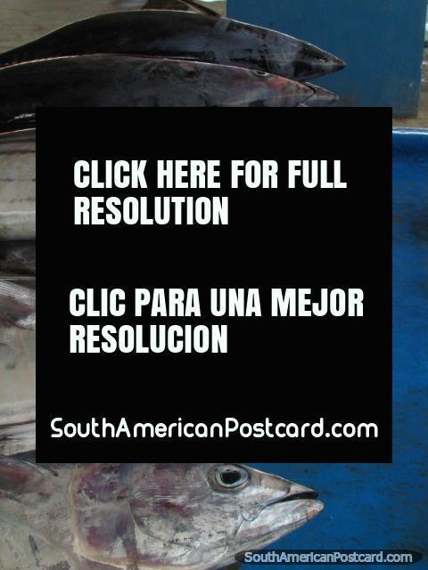 El pescado principal de la manta agarrado es el atún. (480x640px). Ecuador, Sudamerica.