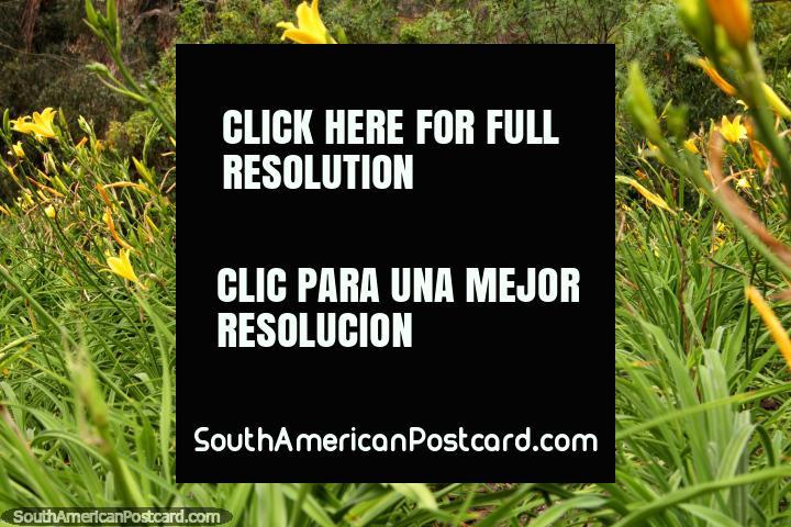 Yellow flowers reach for the sky in the grasslands of the Ambato botanical gardens. (720x480px). Ecuador, South America.
