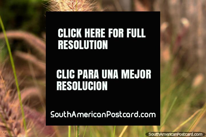 A feather type plant at the Ambato botanical gardens. (720x480px). Ecuador, South America.