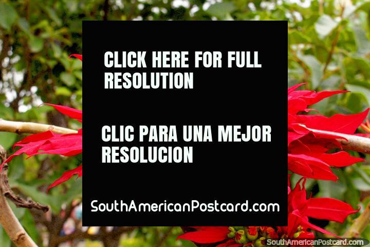 Red and yellow flower at Bolivar Park in Guaranda. (720x480px). Ecuador, South America.
