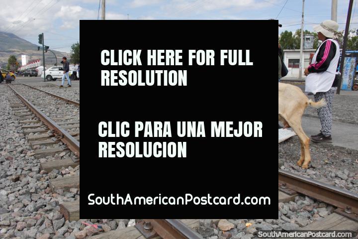 As cabras da venda no trem seguem a pista perto da estação em Ibarra. (720x480px). Equador, América do Sul.