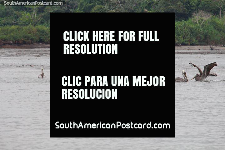 Alguns muitos pelicanos nas águas em volta de San Lorenzo. (720x480px). Equador, América do Sul.