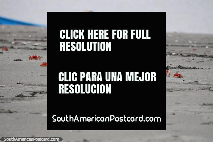 Os caranguejos cor-de-laranja são os chefes de uma ilha isolada da costa de San Lorenzo. (720x480px). Equador, América do Sul.