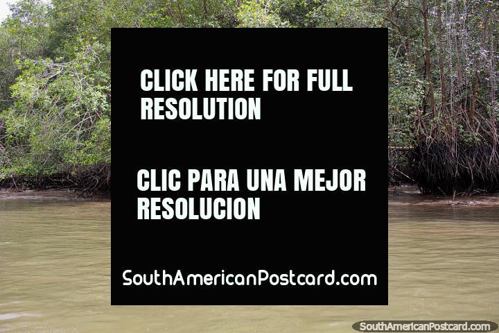 Manglares, pequeño arbusto o árbol que crece en el agua, San Lorenzo. (720x480px). Ecuador, Sudamerica.