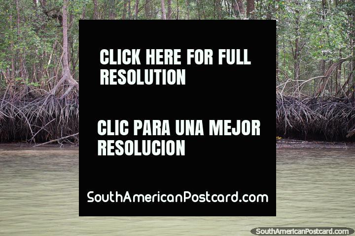 Los manglares son árboles tolerantes a la sal, excursión en bote a San Lorenzo. (720x480px). Ecuador, Sudamerica.