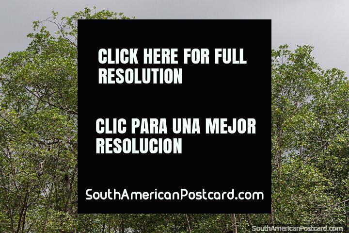 Pelicano alto em árvores, notando vida selvagem da costa de San Lorenzo. (720x480px). Equador, América do Sul.