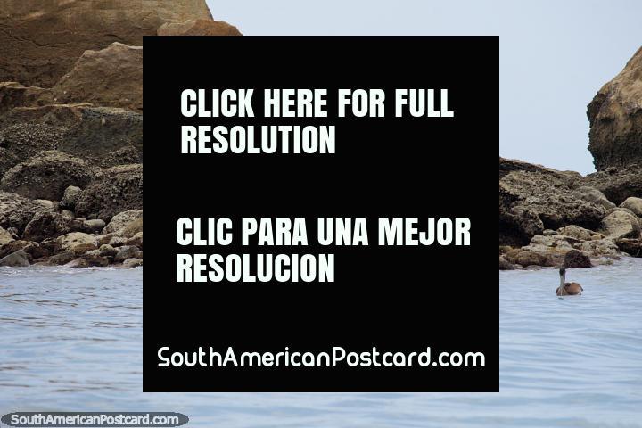 Lots of pelicans along the coast around Atacames and Sua beaches. (720x480px). Ecuador, South America.