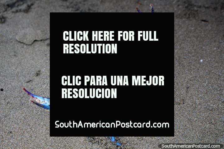 El cangrejo azul en la arena agita sus brazos en la playa en Mompiche. (720x480px). Ecuador, Sudamerica.