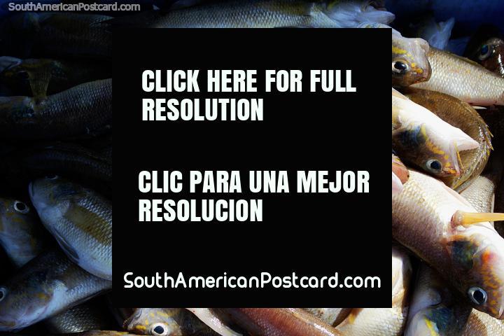 Pescado fresco traído por la comunidad en la playa de El Matal. (720x480px). Ecuador, Sudamerica.