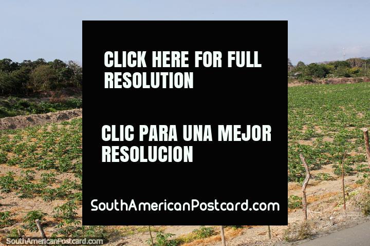 Colheitas que crescem em terra de cultivo entre praia de El Matal e Jama. (720x480px). Equador, América do Sul.