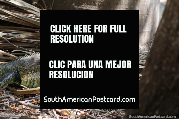 Iguana spies something up a tree, is it a friend, botanical gardens, Portoviejo. (720x480px). Ecuador, South America.