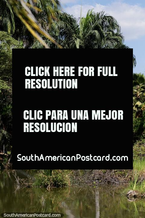 Beautiful tall palm trees with bushy canopies at the botanical gardens, Portoviejo. (480x720px). Ecuador, South America.