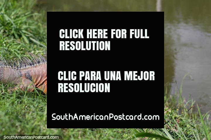 Old iguana with brown skin wants to take a swim at the botanical gardens in Portoviejo. (720x480px). Ecuador, South America.