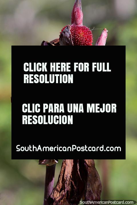 Prickly and spongy red flower pods, like strawberries, botanical gardens, Portoviejo. (480x720px). Ecuador, South America.