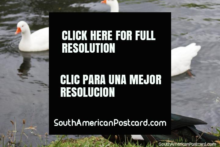 Large black duck with red head and white ducks in the lagoon at Jipiro Recreational Park in Loja. (720x480px). Ecuador, South America.