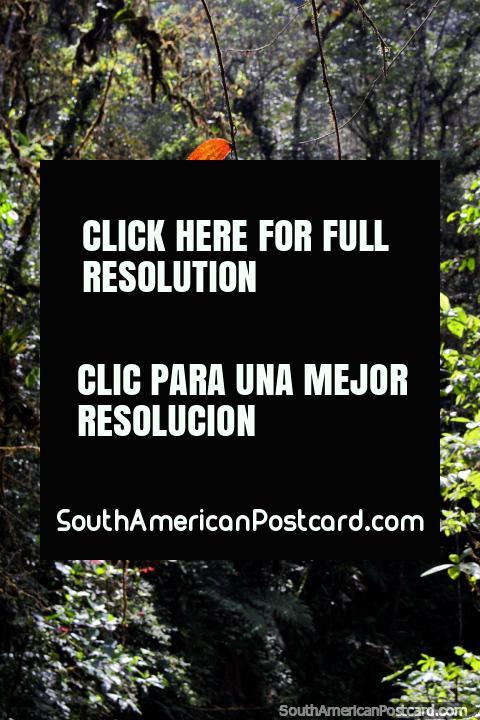 Dead leaves turned orange shine in the sun at Podocarpus National Park in Zamora. (480x720px). Ecuador, South America.
