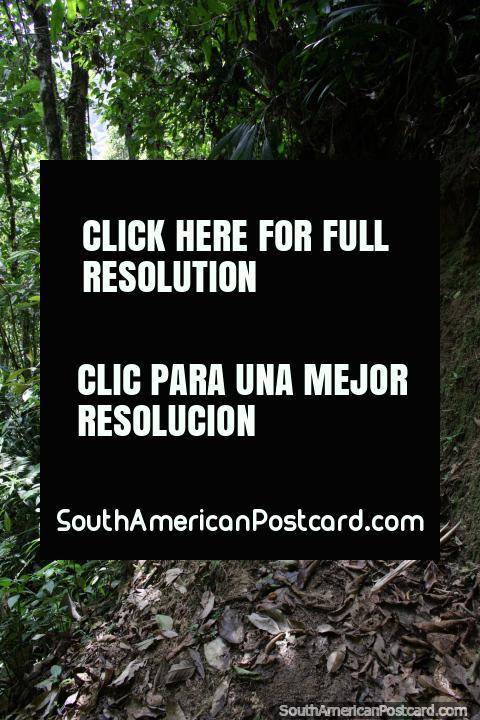 Walking the bush trails at Podocarpus National Park in Zamora. (480x720px). Ecuador, South America.