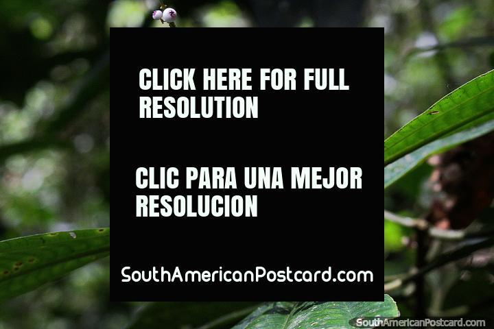 Small violet colored flower pods, enjoy nature at Podocarpus National Park in Zamora. (720x480px). Ecuador, South America.