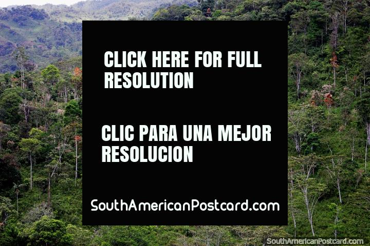 Hermosos árboles delgados y arbustos espesos en las colinas al sur de Limón. (720x480px). Ecuador, Sudamerica.
