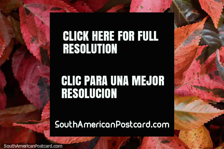 Pink, burgundy and purple leaves in the gardens at the central park in Limon. (720x480px). Ecuador, South America.