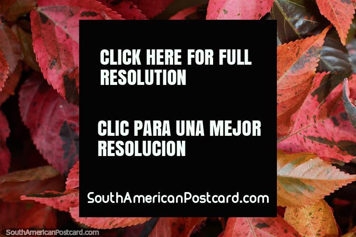 Hojas de color rosa, borgoña y púrpura en los jardines del parque central de Limón. (720x480px). Ecuador, Sudamerica.