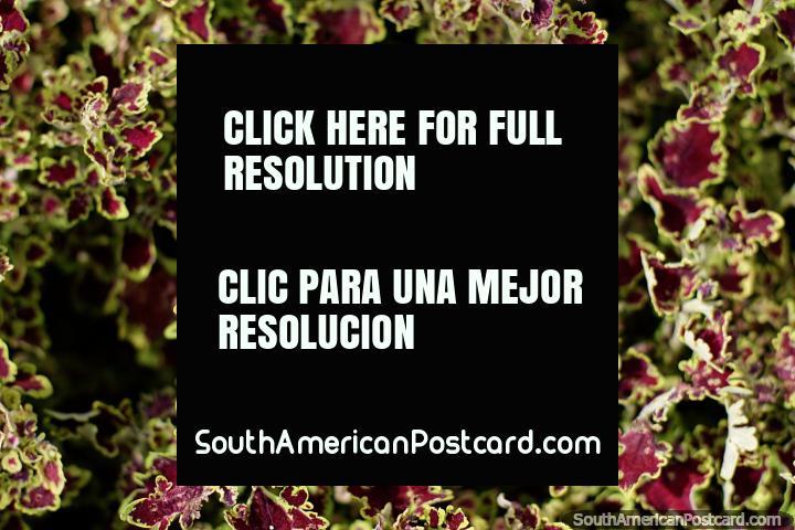 A Borgonha e folhas exóticas verdes nos jardins do parque central em Limon. (720x480px). Equador, América do Sul.