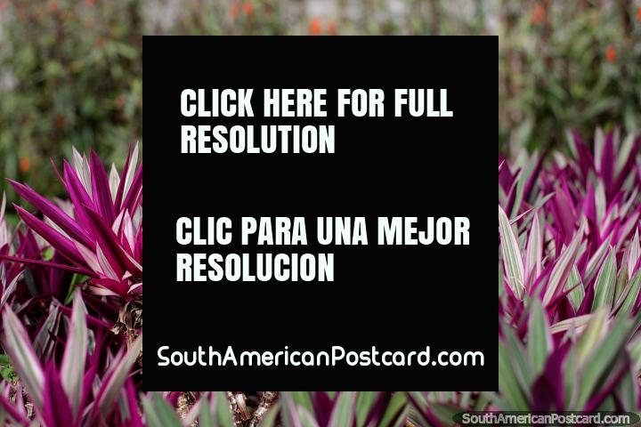 Hojas puntiagudas de color púrpura y blanco, plantas exóticas en los jardines del parque central en Limón. (720x480px). Ecuador, Sudamerica.
