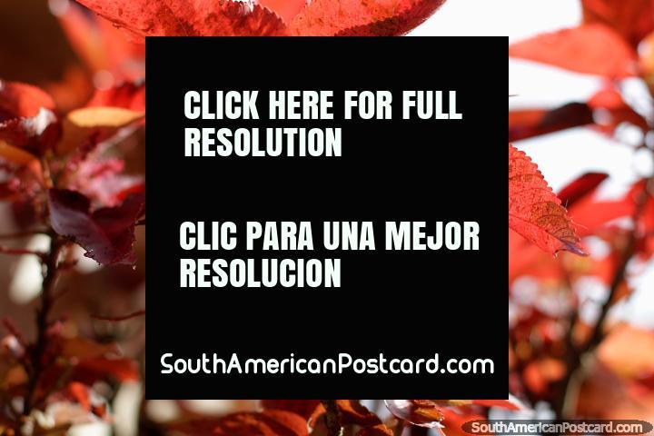 Folhas vermelho-pálidas, transparentes ao sol, parque central em Limon. (720x480px). Equador, América do Sul.