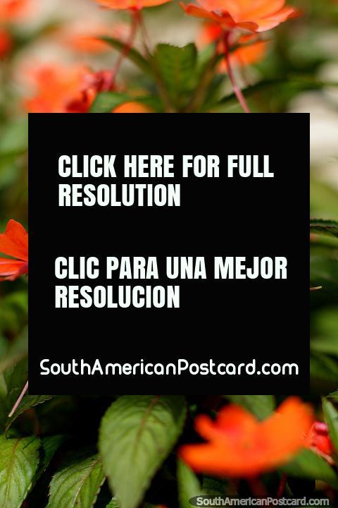 As flores cor-de-laranja florem nos jardins do parque central em Limon. (480x720px). Equador, América do Sul.