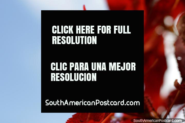 Folhas vermelhas e céu azul, Limon tem jardins bonitos no parque. (720x480px). Equador, América do Sul.