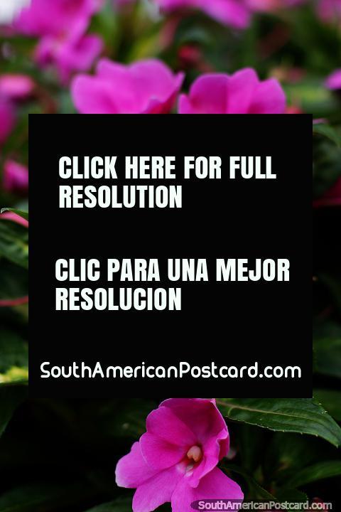 Pétalos, flores y capullos rosados florecen en los jardines del parque en Limón. (480x720px). Ecuador, Sudamerica.