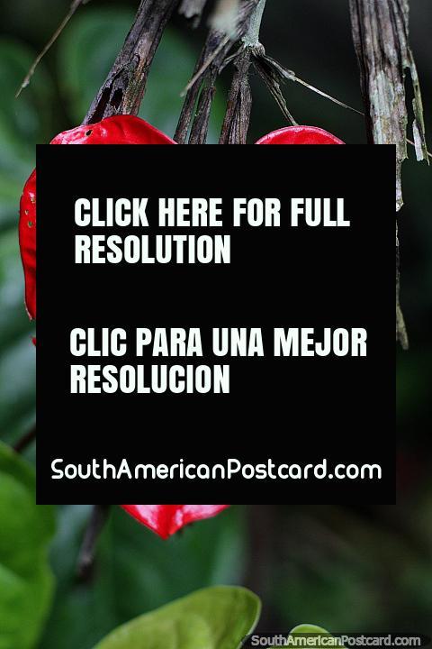 Red heart-shaped leaf, Anthurium andraeanum or flamingo flower, Las Orquideas botanical garden, Puyo. (480x720px). Ecuador, South America.