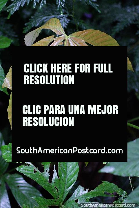 7 leaves, dark green, there are plenty of them at Las Orquideas botanical garden in Puyo. (480x720px). Ecuador, South America.