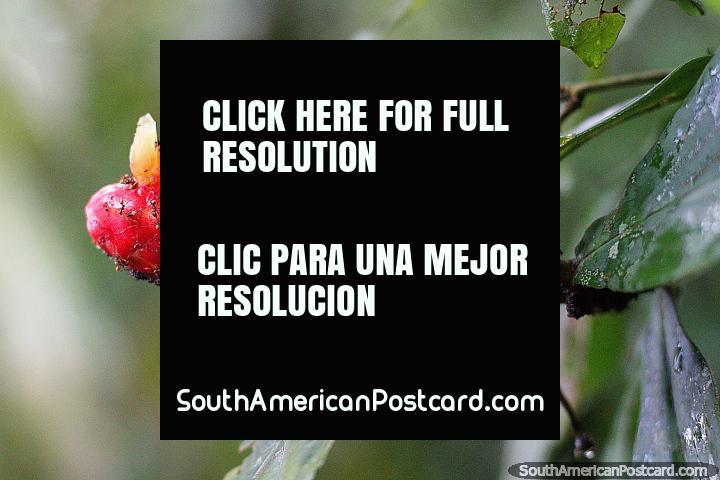 Red banana-shaped flora with a white horn at Las Orquideas botanical garden in Puyo. (720x480px). Ecuador, South America.