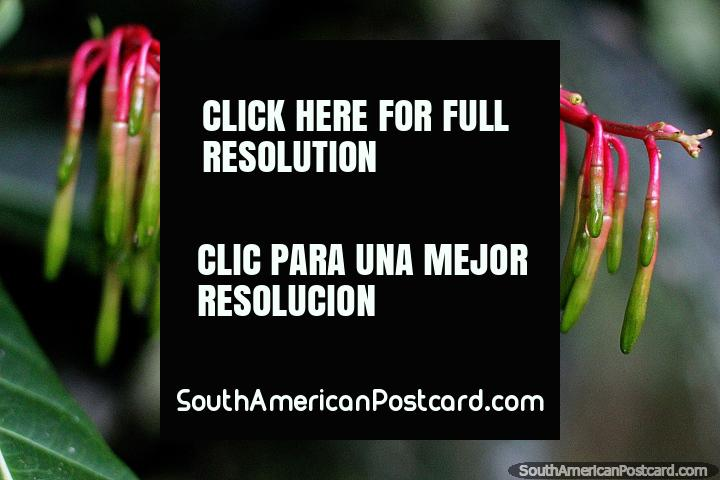 Cavendishia Grandifolia, exotic flowers, red and green, Las Orquideas botanical garden, Puyo. (720x480px). Ecuador, South America.