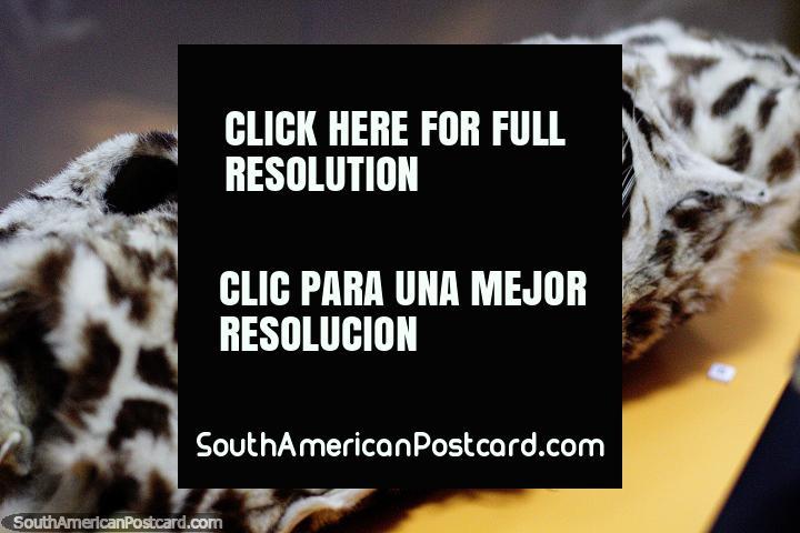Jaguar skin rolled up like a carpet, Archaeological museum, Puyo. (720x480px). Ecuador, South America.