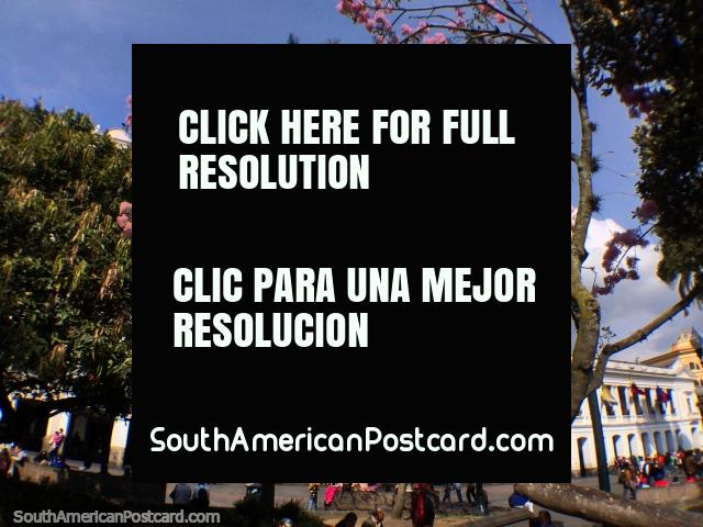 Esos impresionantes árboles con flores rosas y los edificios blancos en la Plaza de la Independencia, Quito. (640x480px). Ecuador, Sudamerica.
